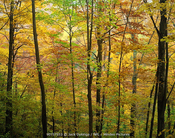 Sugar maple {Acer saccharum}, American beech {Fagus grandifolia} and Yellow birch {Betula alleghaniensis} trees turning colour in autumn, Green Mountain National Forest, Vermont, USA