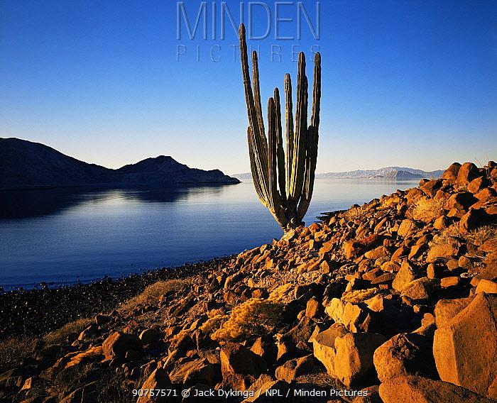 Solitary Cadon cactus (Pachycereus pringlei) growing in scree next to the Sea of Cortes, sunrise, Isla Angel de la Guarda / Archangle Island, Baja California, Mexico