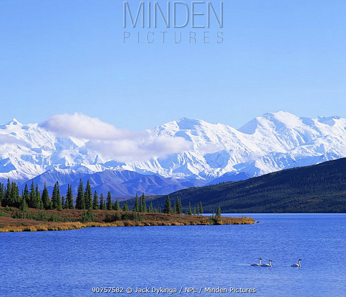 Trumpter Swans (Cygnus cygnus buccinator) on Wonder Lake with a snow covered Mount McKinley in the background, late afternoon, Denali NP, Alaska, USA
