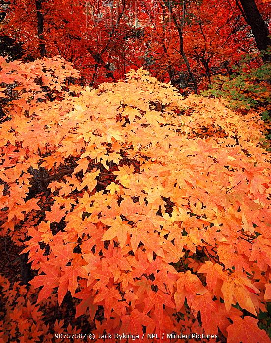Bigtooth maple {Acer saccharum grandidentatum} trees in autumn colours, Huachuca mountains, Coronado National Forest, Arizona, USA