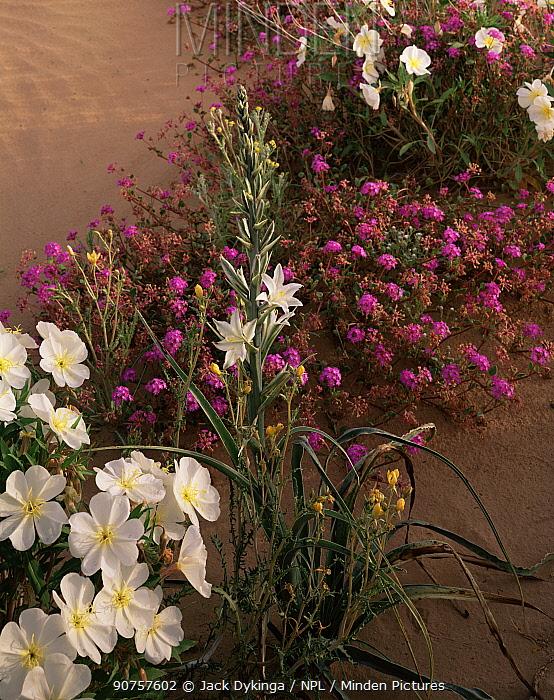 Desert lily {Hesperocallis undulata}, Birdcage evening primrose {Oenothera deltoides} and Sand verbena {Abronia villosa} flowering, Biosphere Reserve of Pinacate and Gran Desierto Altar, Sonoran desert, Mexico