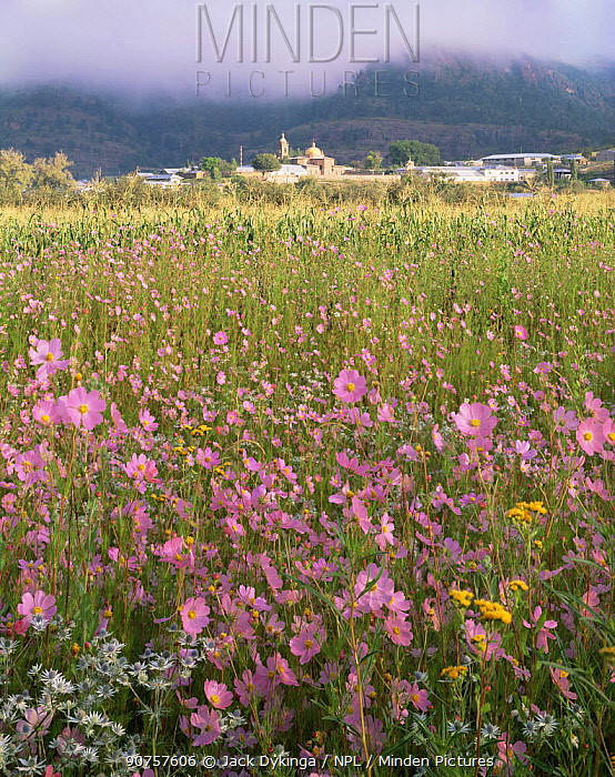 Wildflowers in meadow in front of Cerocahui village and Catholic mission buildings, Barranca del Cobre NP, Chihuahua, Mexico