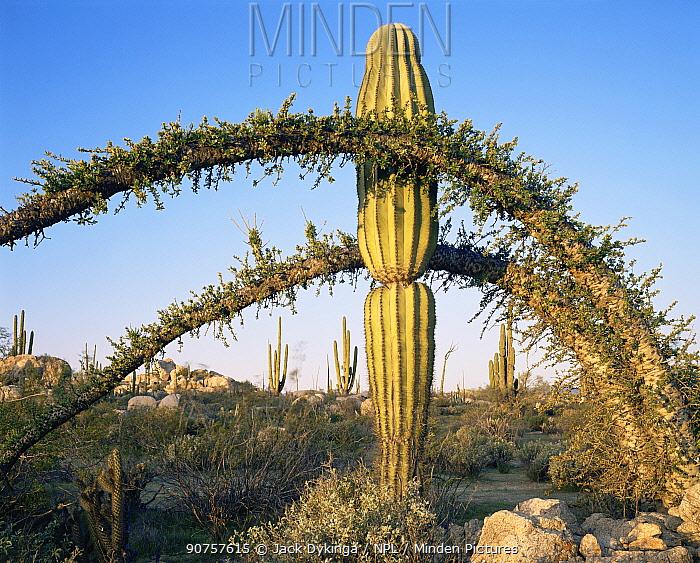 Boojum tree {Fouquieria / Idria columnaris} and Cardon cactus {Pachycereus pringlei} Baja California, Mexico