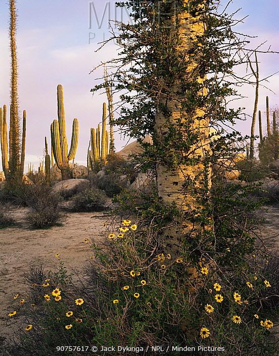 Goldeneye {Viguiera deltoidea} flowering at base of Boojum tree {Fouquieria / Idria columnaris} with Cardon cactus {Pachycereus pringlei} Baja California, Mexico