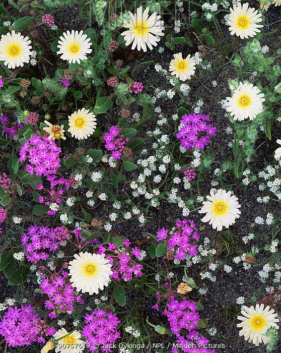 Desert dandelion {Malacothrix californica}, Sand verbena {Abronia villosa} and Popcorn flower {Cryptantha sp} Sierra Calamajue, Baja California, Mexico