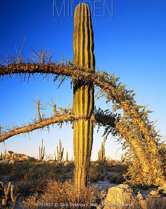 Boojum tree {Fouquieria columnaris} and Cardon cactus {Pachycereus pringlei} nr Catavina, Desierto Central, Baja California, Mexico