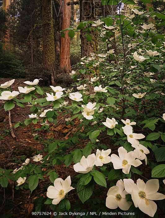 Pacific dogwood {Cornus nuttallii} flowering amongst Giant sequoia trees {Sequoiadendron giganteum} and White fir trees {Abies concolor} Sequoia NP, California, USA