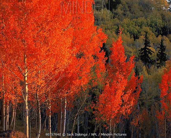 Quaking aspen trees {Populus tremuloides} in autumn colours with Engelmann spruce trees {Picea engelmannii} Dixie National Forest, Utah, USA