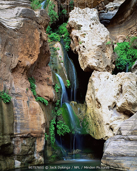 Elves Chasm, Grand Canyon NP, Arizona, USA with hanging garden of Maidenhair ferns {Adiantum capillus-veneris} and Monkey flowers.