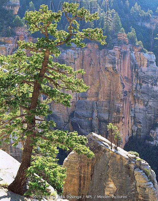 Kaibab limestone spire, North Kaibab trail, North Rim, Grand Canyon National Park, Arizona, USA with Pinyon pine {Pinus edulis} and Utah juniper {Juniperus osteosperma}