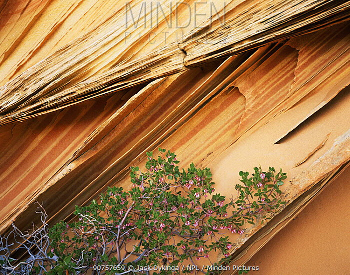 Delicate sandstone fins of petrified sand dune, Paria Canyon-Vermilion Cliffs Wilderness, Arizona, USA with flowering Pointleaf manzanita {Arctostaphylos pungens}
