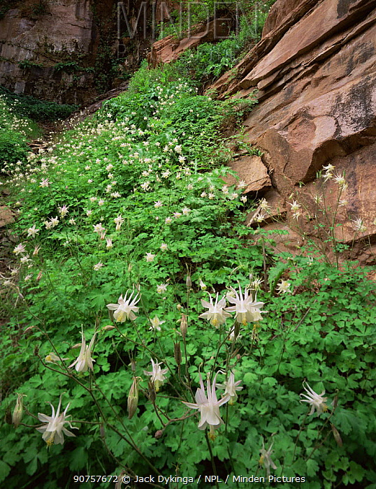 Flowering Alcove columbines {Aquilegia micrantha} Paria Canyon-Vermilion Cliffs Wilderness, Arizona, USA
