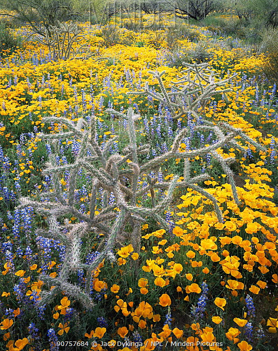 Cane cholla cactus {Opuntia versicolor}, Lupins {Lupinus sparsiflorus} and Californian poppies {Exchscholtzia californica} flowering on Quinlan mountains, Tohono O'oodham Reserve, Arizona, USA