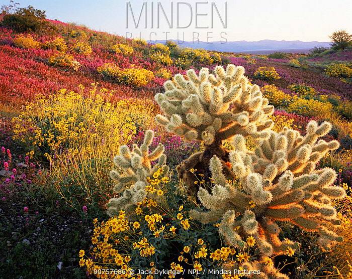 Teddy bear cholla cactus {Opuntia bigelovii}, Brittlebush {Encelia farinosa} and Red owl's clover {Orthocarpus purpurascens} flowering on Harcuvar mountains, Arizona, USA with Arrastra mountains in the background