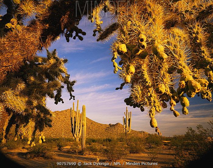 Saguaro {Carnegia gigantea} and Cholla cacti {Opuntia sp} Antelope Hills, Cabeza Prieta National Wildlife Refuge, Arizona, USA