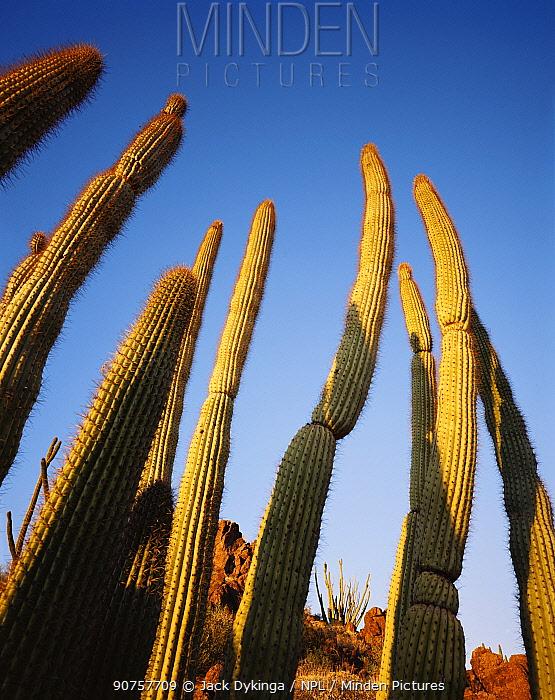 Organ pipe cactus {Cereus therberi} Organ Pipe Cactus National Monument, Arizona, USA