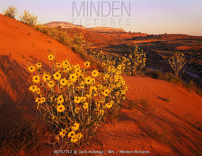 Sand sunflowers {Helianthus anomalus} flowering on sand dunes with cliffs of Kaiparowits plateau in background, Grand Staircase-Escalante, Utah, USA