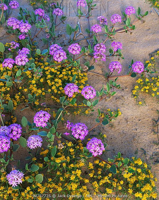 Sand verbena {Abronia villosa} and Chinchweed {Pectis papposa} flowering in desert, Sierra del Rosario, Pinacate and Gran Desierto Altar Biosphere Reserve, Sonoran desert, Mexico