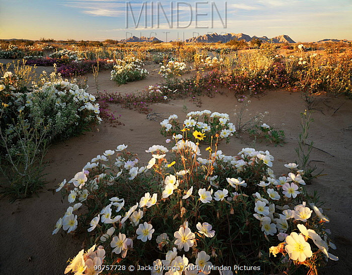Birdcage evening primrose {Oenothera deltoides}, Sand sunflowers {Helianthus niveus} and Sand verbena {Abronia villosa} flowering on sand dunes, Pinacate and Gran Desierto Altar Biosphere Reserve, Sonoran desert, Mexico