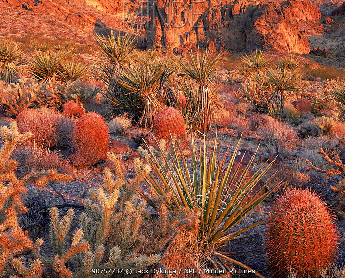 Desert flora at dawn; Barrel Cactus (Ferocactus acanthodes var. lecontei) Mojave Yuccca (Yucca schidigera) and Cane Cholla (Opuntia acanthocarpa var. coloardensis), Mojave National Preserve, Piute Range, California