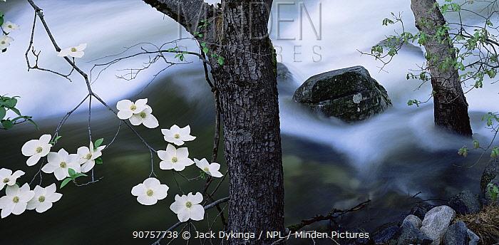 Pacific Dogwood (Cornus nuttallii) flowering on the banks of the Merced River, Yosemite valley, Yosemite National Park, California