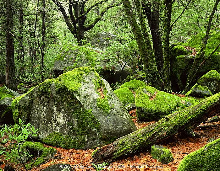 Moss covered Black Oaks (Quercus kelloggii) and boulders, Yosemite Valley, Yosemite National Park
