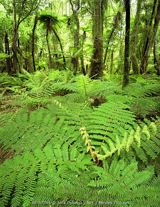 Soft Tree Ferns (Balantium antarcticum) in lowland rainforest, Whakapohai Wildlife Refuge, South Island, New Zealand