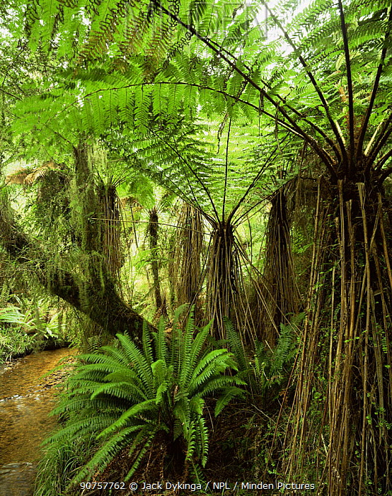 Soft Tree Ferns (Cyathea smithii) with Crown Ferns (Blechnum discolor) below, Whakapohai Wildlife Refuge, South Island, New Zealand