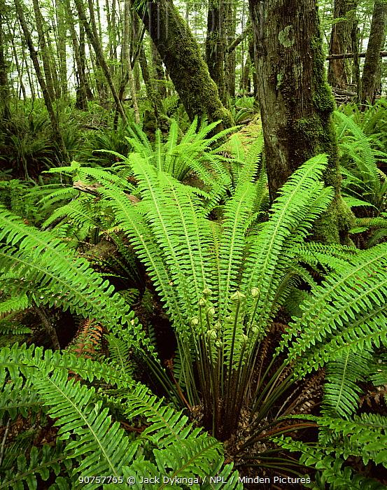 Silver Beech (Nothofagus menziesii) with an understorey of Crown Ferns (Blechnum discolor), Kepler Track, Fiordland National park, South Island, New Zealand
