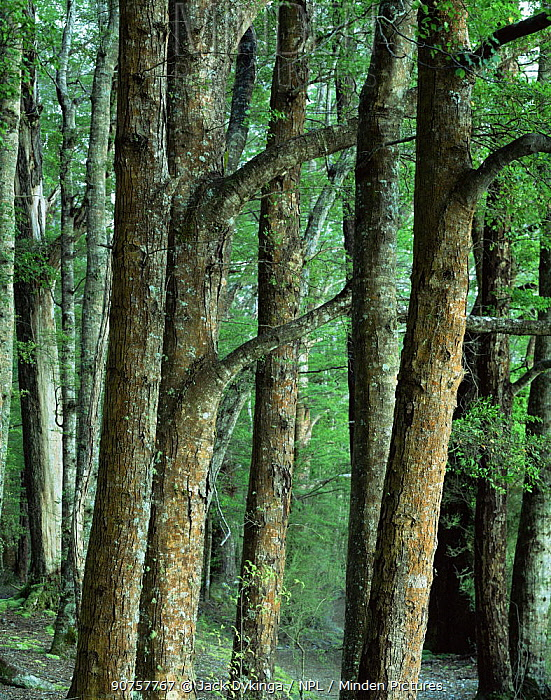 Red Beech (Nothofagus fusca) trunks, Kepler Track, Fiordland National park, South Island, New Zealand