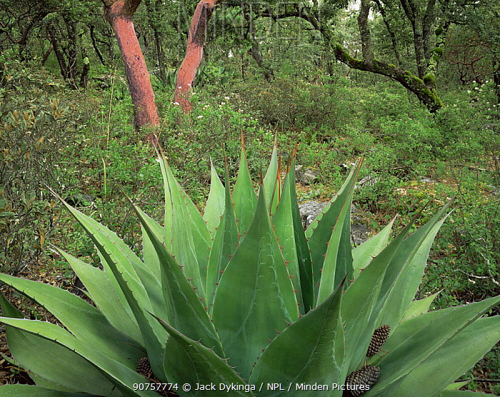 Close-up of Agave (Agave montana) with red thorns / spines and interesting patternation on blades, Madrone and Oak trees in background, Sierra Madre Oriental mountain range, Tamaulipas, Mexico