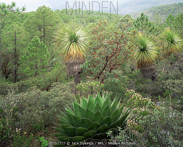 Agave (Agave montana) in mountain habitat in the Sierra Madre Oriental range, Nolina (Nolina sp), Madrone and Pine (Pinus sp) also present, Tamaulipas, Mexico