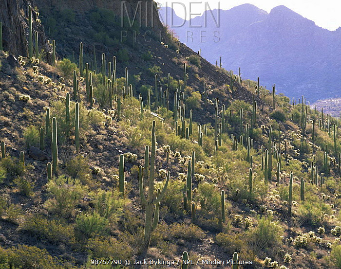 Sand Tank Mountains with a large number of back lit Saguaro cacti (Carnegiea gigantea) Goldwater Range, Arizona