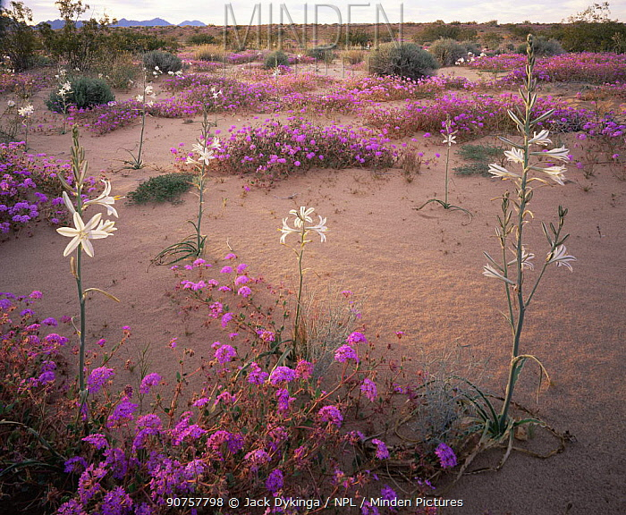 Desert Lillies (Hesperocallis undulata) and Desert Sand Verbena (Abronia villosa) at sunset, Mohawk Dunes, Barry M. Goldwater Range, Arizona