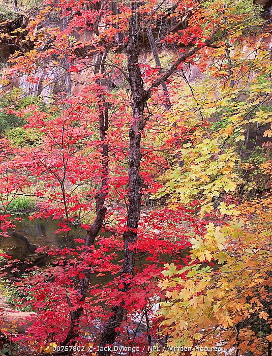Autumnal Bigtooth Maples (Acer saccharum grandidentatum), West Fork Oak Creek, Coconino National Forest, Arizona