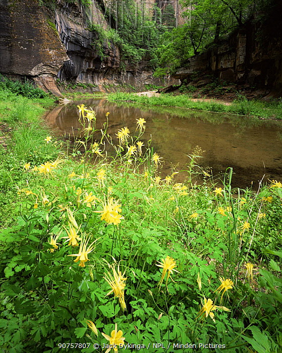 Golden Columbines (Aquilegia chrysanta) flowering on bank of West Fork Oak Creek at the base of Supai sandstone cliffs, Coconino National Forest, Arizona