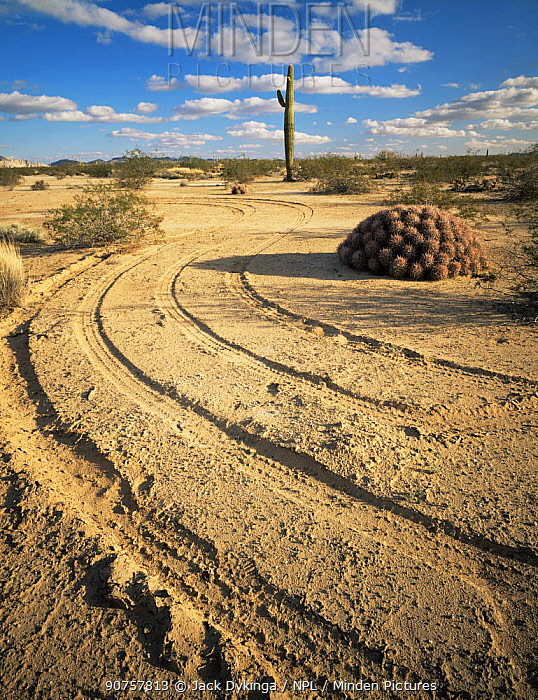 Vehicle tracks winding around a Cottontop Cactus (Echinocactus polycephalus), Cabeza Prieta National Wildlife Refuge, Arizona