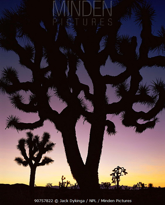 Joshua trees (Yucca brevifolia) silhouetted against dawn sky, Death Valley National Park, California