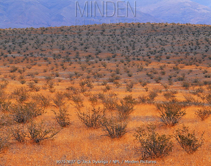 Creosote bushes (Larrea tridentata) in-amongst Desert Trumpets (Eriogonum trichopes) Panamint Valley, Death Valley National Park, California