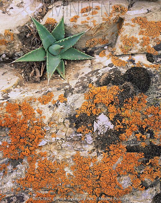 Orange Lichen and Agave (Agave utahensis) on trailside rim rock, South Bass Trail, Grand Canyon NP, Arizona, USA