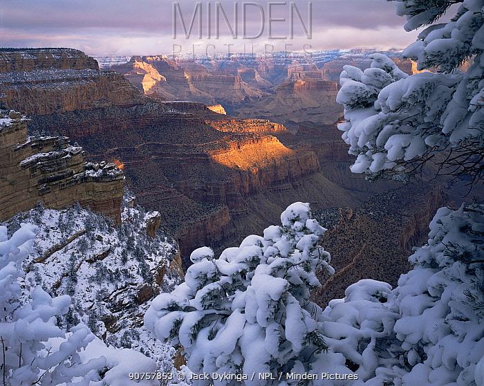 Snow on Pinyon Pines (Pinus edulis) at sunrise, East Rim Drive, South Rim, Grand Canyon NP, Arizona, USA
