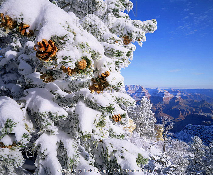 Snow covered Pinyon Pines (Pinus edulus) with pine cones, overlooking the West Rim, Grandview Point, Grand Canyon NP, Arizona, USA