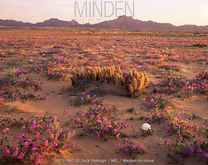 Sand Verbena (Abronia villosa), Desert Club Cholla (Opuntia kunzei) and Birdcage Evening Primrose (Oenothera deltoides) flowering on Pinta Sands at dawn, Sierra Pinta Mtns, Cabeza Prieta NW Refuge, Arizona, USA