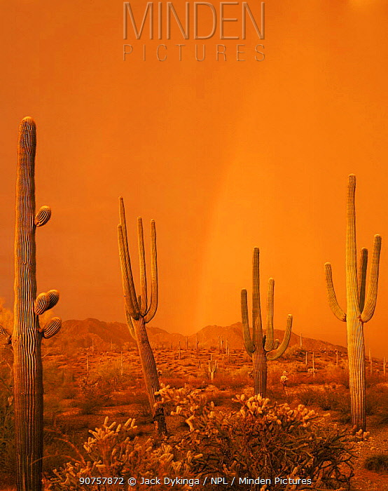 Saguaro Cacti (Carnegiea gigantea) in a summer storm at sunset, with a rainbow in the background, Maricopa Mountains, Sonoran Desert National Monument, Arizona, USA