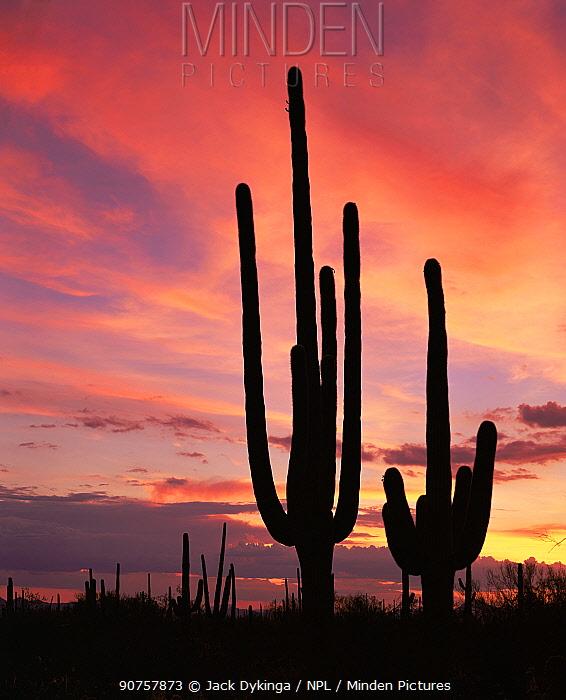 Saguaro Cacti (Carnegiea gigantea) silhouetted at sunset in the Tucson Mountains West unit, Saguaro NP, Arizona, USA