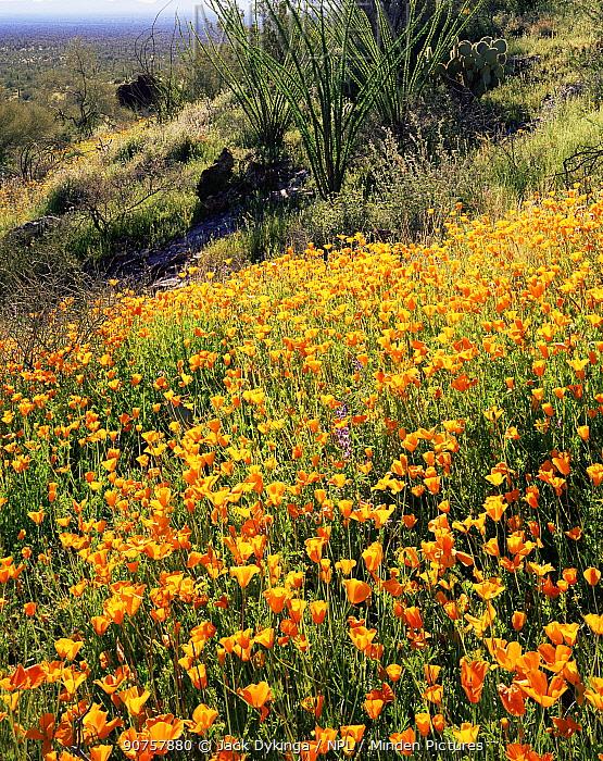 Ocotillos (Fouquieria splendens) amongst flowering Mexican Poppies (Eschscholtzia mexicana) on east facing slopes, Sonoran Desert National Monument, Arizona, USA