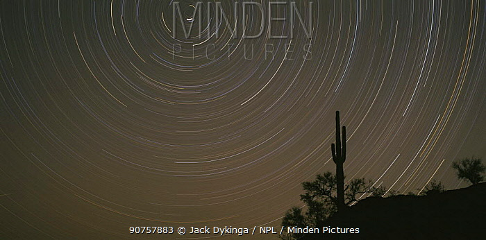 Night sky with trails of stars rotating around the North Star with a Saguaro Cactus (Carnegiea gigantea) silhouetted in the foreground, Cabeza Prieta NW Refuge, Arizona, USA