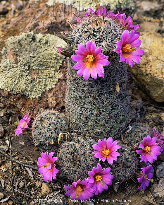 Tangled Fishhook Cactus (Mammillaria microcarpa) in full flower after the summer rains, Saguaro NP, Arizona, USA