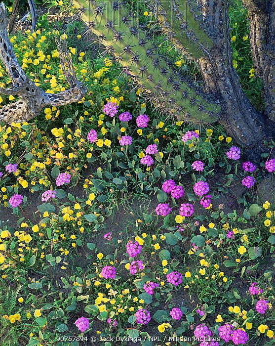 Sand Verbena (Abronia villosa) and Evening Primrose (Oenothera sp) flowering beneath a Galloping Cactus (Stenocereus gummosus)  Vizcaino Desert, Baja California Sur, Mexico, Central America