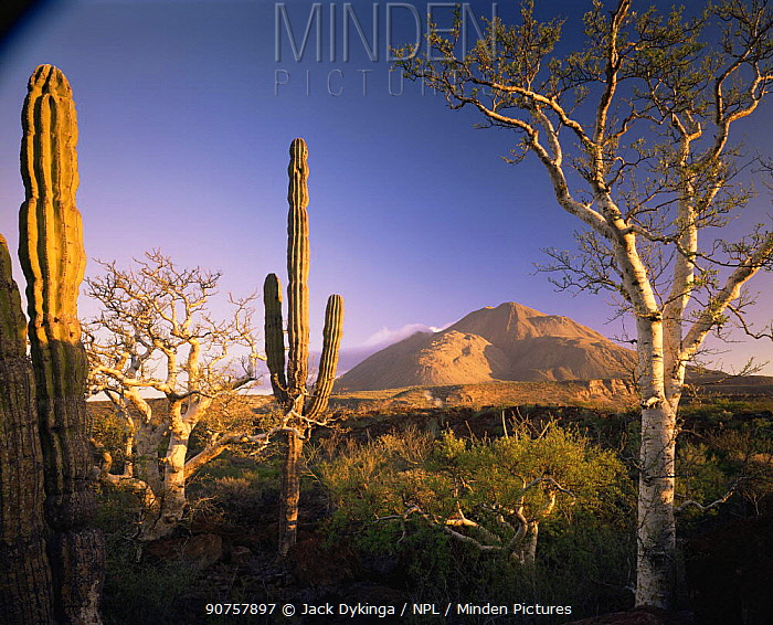 Cardon Cacti (Pachycereus pringlei) and Elephant Trees (Pachycormus discolor) at sunrise with the Tres Virgenes volcanoes in the background, Baja California Sur, Mexico, Central America